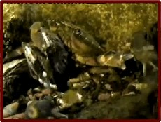 shore crab being mugged by blennies